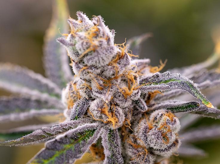 medical cannabis in maryland